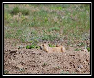 Greycliff Prairie Dog Town SP 3